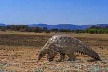 Cape Pangolin (Manis temminckii), Limpopo, South Africa