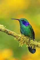 Green Violet-ear (Colibri thalassinus) hummingbird, Colombia