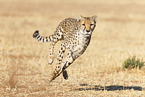 Cheetah (Acinonyx jubatus) running, Cheetah Conservation Fund, Namibia