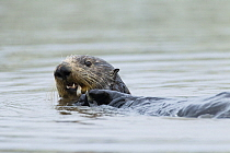 Sea Otter (Enhydra lutris) female feeding on clam prey, Elkhorn Slough, Monterey Bay, California