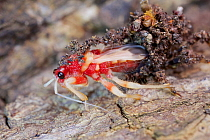 Assassin Bug (Acanthaspis sp), newly moulted, Cambodia