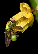 Paper Wasp (Ropalidia sp) queen tending to brood, Antananarivo, Madagascar