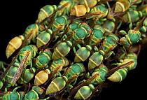 Paper Wasp (Ropalidia sp) colony, Ankarafantsika National Park, Madagascar