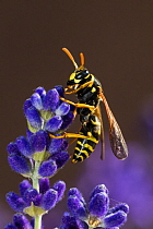 European Paper Wasp (Polistes dominulus), Bavaria, Germany