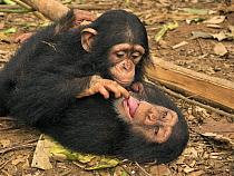 Chimpanzee (Pan troglodytes) orphans, Larry investigating Daphne's tongue, Ape Action Africa, Mefou Primate Sanctuary, Cameroon