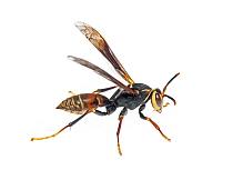 Paper Wasp (Polistes buyssoni), Argentina