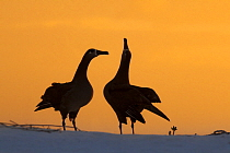Black-footed Albatross (Phoebastria nigripes) pair courting, Midway Atoll, Hawaiian Leeward Islands, Hawaii