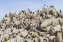 Common Murre (Uria aalge) colony, Farne Islands, England, United Kingdom
