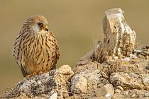 Lesser Kestrel (Falco naumanni) female, Castile-La Mancha, Spain