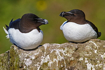 Razorbill (Alca torda) pair, Scotland, United Kingdom