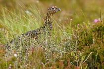 Red Grouse (Lagopus scoticus), Scotland, United Kingdom