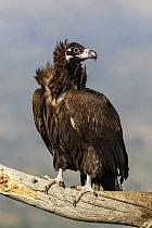 Eurasian Black Vulture (Aegypius monachus), Castile-Leon, Spain