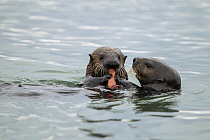 Sea Otter (Enhydra lutris) mother giving pup Fat Inkeeper Worm (Urechis unicinctus) prey to feed on, Elkhorn Slough, Monterey Bay, California