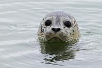 Harbor Seal (Phoca vitulina) pup, Elkhorn Slough, Monterey Bay, California