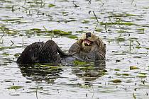 Sea Otter (Enhydra lutris) female grooming, Elkhorn Slough, Monterey Bay, California