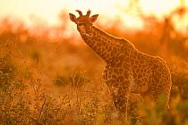 South African Giraffe (Giraffa giraffa giraffa) juvenile at sunset, Greater Makalali Private Game Reserve, South Africa