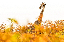 South African Giraffe (Giraffa giraffa giraffa) female in Mopane (Colophospermum mopane) woodland, Kruger National Park, South Africa