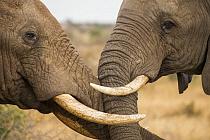 African Elephant (Loxodonta africana) bulls fighting, Kruger National Park, South Africa