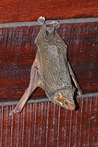 Mauritian Tomb Bat (Taphozous mauritianus) roosting, Gorongosa National Park, Mozambique