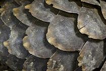 Cape Pangolin (Manis temminckii) scales, Gorongosa National Park, Mozambique