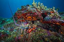 Caribbean Spiny Lobster (Panulirus argus), Caribbean