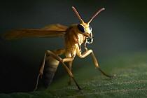 Paper Wasp (Polistes sp) drinking, Tambopata Research Center, Peru