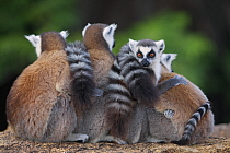 Ring-tailed Lemur (Lemur catta) group huddling, Anja Park, Madagascar