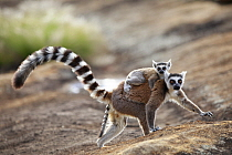 Ring-tailed Lemur (Lemur catta) mother and young, Anja Park, Madagascar