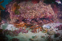 California Spiny Lobster (Panulirus interruptus) group, La Jolla, California