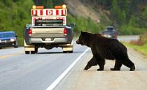 Grizzly Bear (Ursus arctos horribilis) crossing road, North America