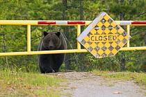 Grizzly Bear (Ursus arctos horribilis) on road, North America