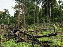 Slash-and-burn deforestation for farming, near Mefou Primate Sanctuary, Cameroon