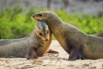 Galapagos Sea Lion (Zalophus wollebaeki) pair nuzzling, Santa Fe Island, Galapagos Islands, Ecuador