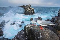 Swallow-tailed Gull (Creagrus furcatus) pair on coast, Plazas Island, Galapagos Islands, Ecuador