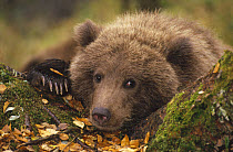 Grizzly Bear (Ursus arctos horribilis) cub in forest in fall, Katmai National Park, Alaska  -  Matthias Breiter