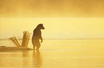 Grizzly Bear (Ursus arctos horribilis) on landspit in early morning haze, Katmai National Park, Alaska  -  Matthias Breiter