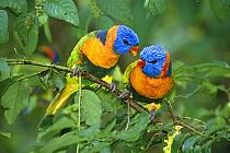 Rainbow Lorikeet (Trichoglossus haematodus) pair interacting, Noonamah, Northern Territory, Australia  -  Matthias Breiter