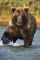 Grizzly Bear (Ursus arctos horribilis) young female looking for fish, Katmai National Park, Alaska  -  Matthias Breiter