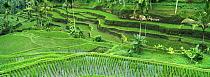 Rice (Oryza sativa) paddy in the Ubud area, Bali, Indonesia  -  Cyril Ruoso