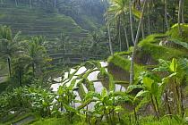 Terraced rice paddy fields, Ubud area, Bali, Indonesia  -  Cyril Ruoso