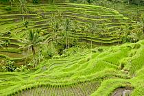 Terraced rice paddy, Ubud area, Bali, Indonesia  -  Cyril Ruoso