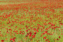 Red Poppy (Papaver rhoeas) in a cereal field, Yonne, France  -  Cyril Ruoso