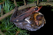 Hoary Bat (Lasiurus cinereus) climbing through a Douglas Fir (Pseudotsuga menziesii) branch, the Hoary Bat Will often roost in the branches of trees in more exposed areas than is typical for most bats...  -  Michael Durham