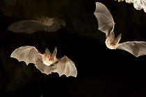 Townsend's Big-eared Bat (Corynorhinus townsendii) pair exit a cave while a third flies in the background in the Derrick Cave Complex, a series of lava tubes and lava bubbles, dusk, central Oregon  -  Michael Durham