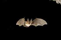 Townsend's Big-eared Bat (Corynorhinus townsendii) exits a cave in the Derrick Cave Complex, a series of lava tubes and lava bubbles, central Oregon  -  Michael Durham