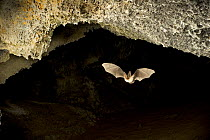 Townsend's Big-eared Bat (Corynorhinus townsendii) exits a cave in the Derrick Cave complex, a series of lava tubes and lava bubbles, dusk, central Oregon  -  Michael Durham