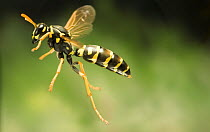 Chinese Paper Wasp (Polistes chinensis) flying, western Oregon  -  Michael Durham