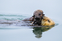 Sea Otter (Enhydra lutris) pup trying to get food from mother, Elkhorn Slough, Monterey Bay, California