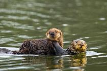 Sea Otter (Enhydra lutris) mother carrying pup, Elkhorn Slough, Monterey Bay, California