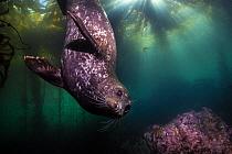 Harbor Seal (Phoca vitulina) in kelp forest, Monterey, California